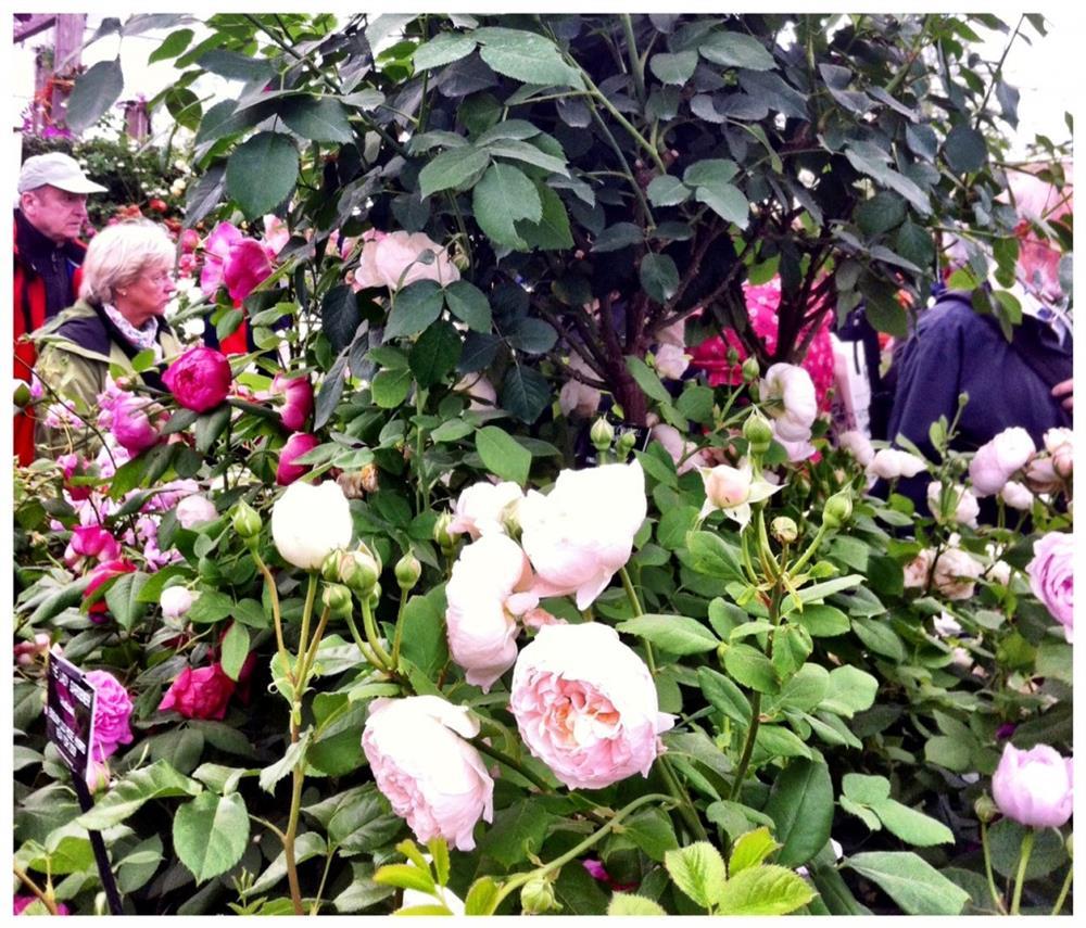 roses1-1024x876